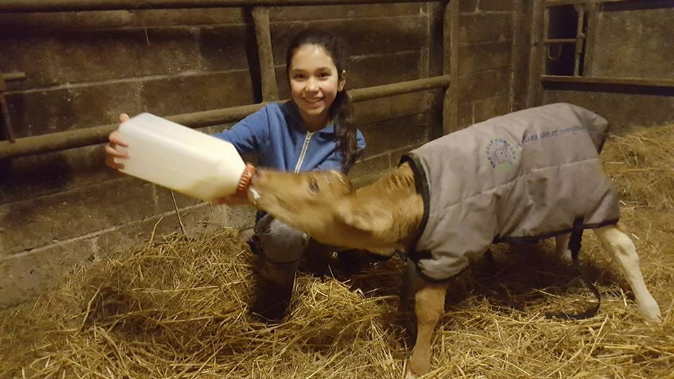 Premature calf survives with TLC